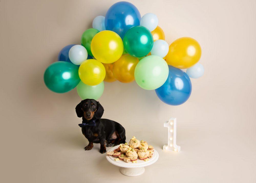 Astounding Dachshund Birthday Cake Smash In Bedford Charlie Martell Photography Funny Birthday Cards Online Unhofree Goldxyz