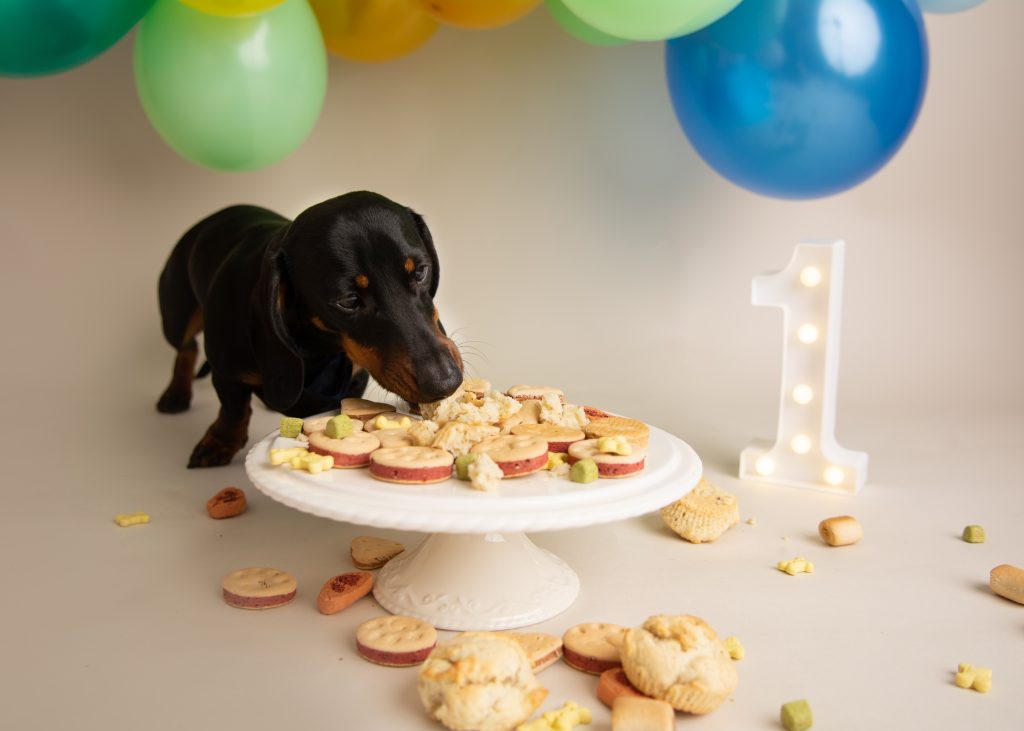 Admirable Dachshund Birthday Cake Smash In Bedford Charlie Martell Photography Funny Birthday Cards Online Unhofree Goldxyz